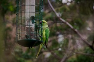 Feral Ring-Necked Parakeet (Wikimedia)