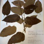 Guazuma tomentosa, an herbarium specimen